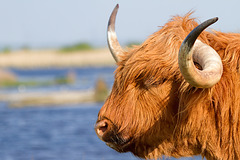 Highland Cattle in Oare Marshes, Kent