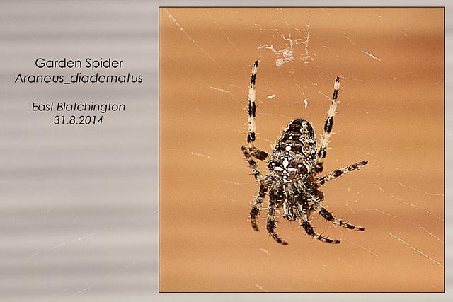 Garden Spider - East Blatchington - 31.8.2014