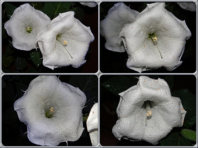 Moonflowers and raindrops (Datura inoxia) Collage