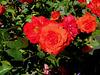 Et des roses...