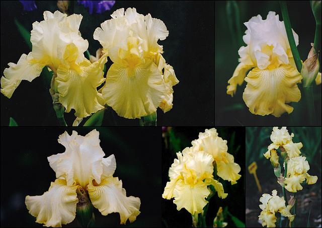 Iris Perfect Interlud