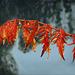 Red-Golden Leaf