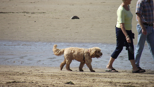 Walking sedately with his owners, then.. into the water he went