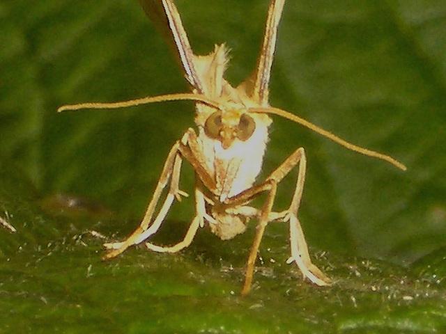 1758 Eulithis pyraliata (Barred Straw)