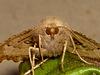 1920 Odontopera bidentata (Scalloped Hazel)