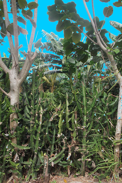 Bananas & cactus  / Bananes et cactus.