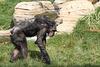 Schimpanse (Hannover)
