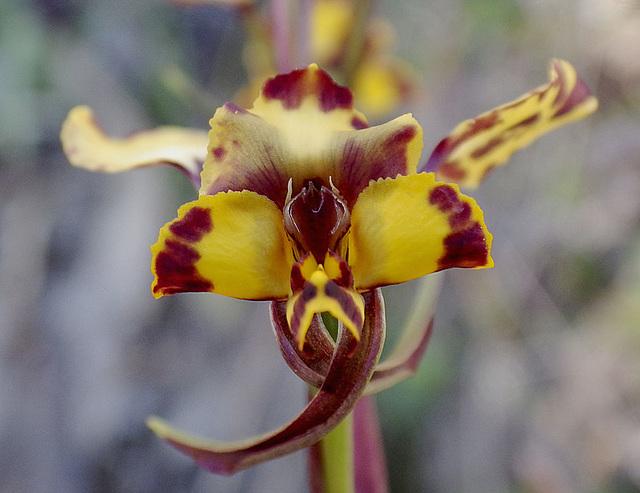 Diuris pardina (Leopard Orchid)