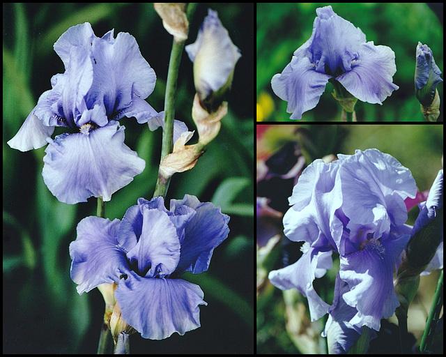 Iris Pacific Mist