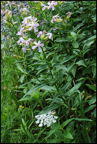 Saponaria officinalis (4)