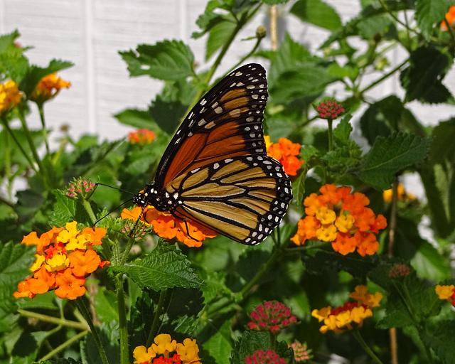 The second Monarch butterfly (Danaus plexippus)(f)