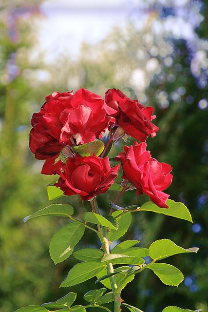 Розы и Осень. Roses et en Automne.
