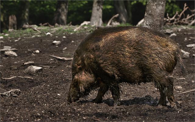 Wildschwein / Wild Boar / Sanglier