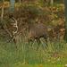 IMG 5078 cerf au brame