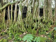Banyan roots at lava tube entrance