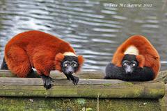 Got my eye's on you 107 Explore (Red ruffled Lemurs)