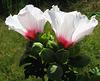 Hibiscus Nursery (Explored)
