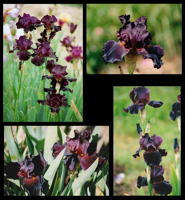 Iris Black As Night
