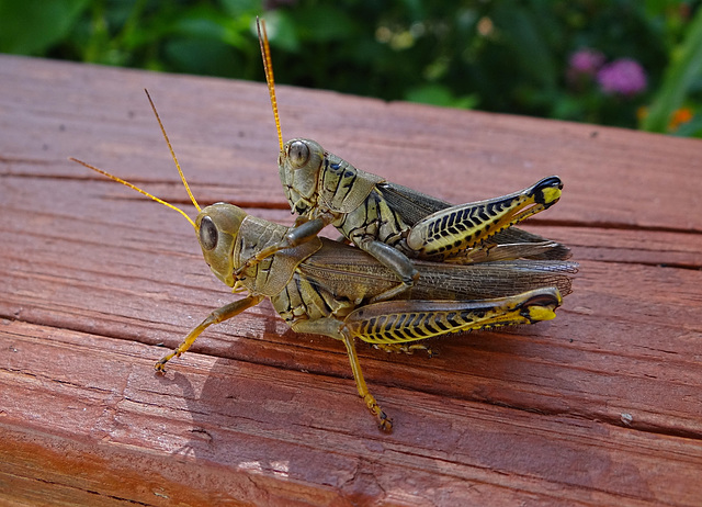 Grasshoppers ! Privacy PLEASE !!!