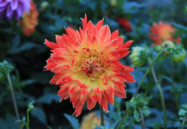 Dahlie - Gelb und Rot/Yellow and Red