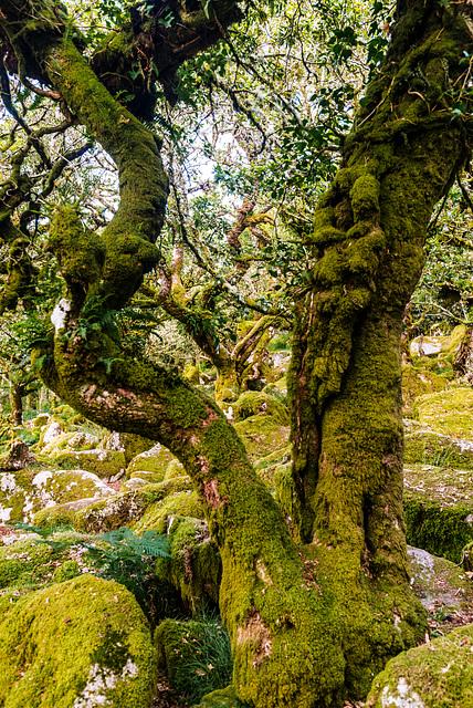 Wistman's Wood - 20140811