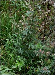 Artemisia vulgaris -Armoise (5)