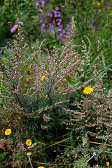 Artemisia vulgaris -Armoise