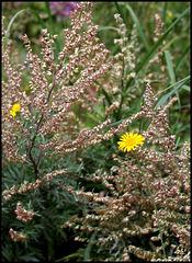 Artemisia vulgaris -Armoise (3)