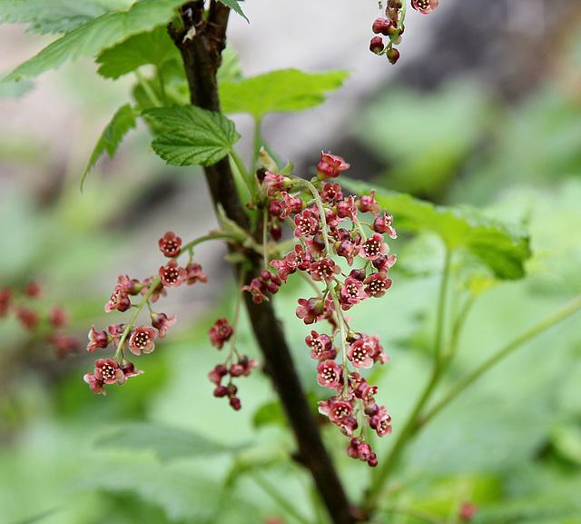 Blütenstrauch am Bach des Umbaltales