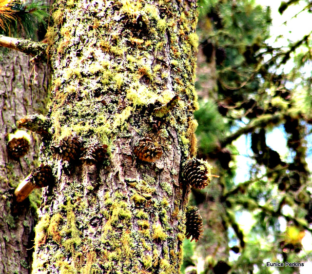 Pine Cones on Trunk