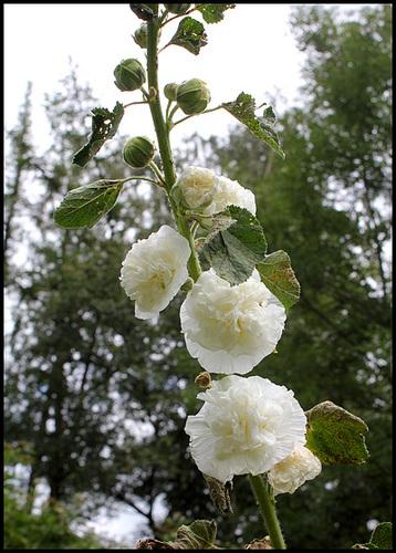 Rose-trémière (2)