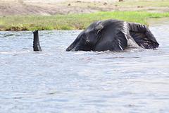 La tuta elefanto foje malaperas sub la akvo, kaj uzas la rostron kiel respirilo