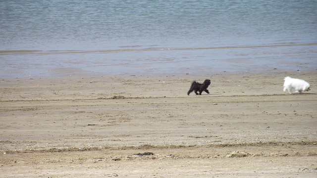 The little black puppy just followed his older playmate around