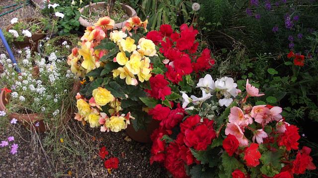 The begonias are still flourishing