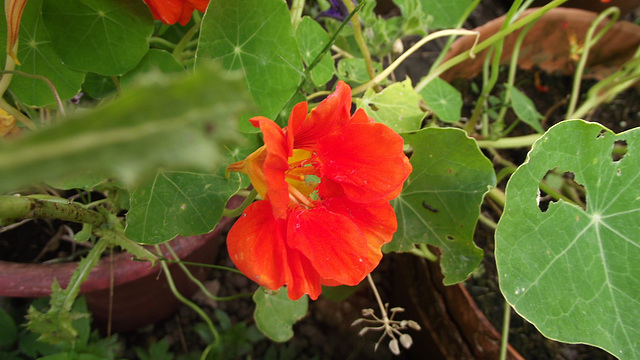 The nasturtiums are still going strong