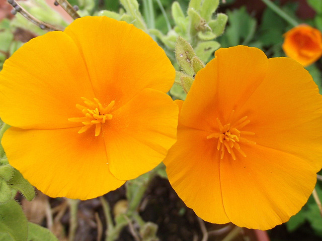 California poppies are flowering too