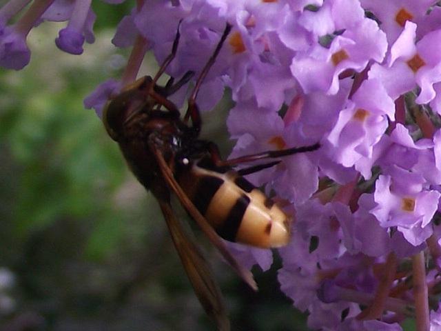 A bee having a good feast on the flower