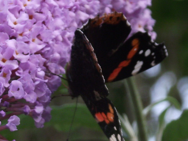Not called the 'butterfly bush' for nothing