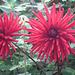 Red dhalias