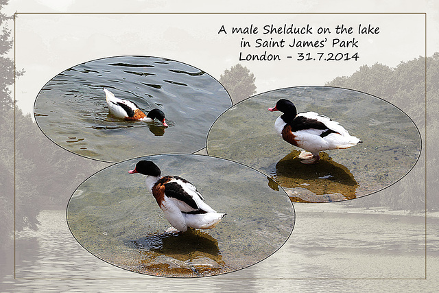 Shelduck - St James' Park - London - 31.7.2014