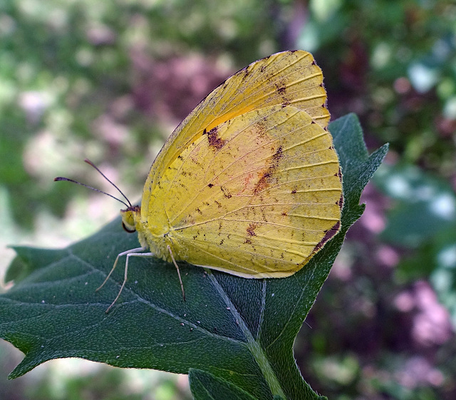 Little Yellow (Pyrisitia lisa)(m) butterfly