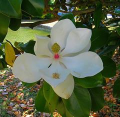 Magnolia parasol