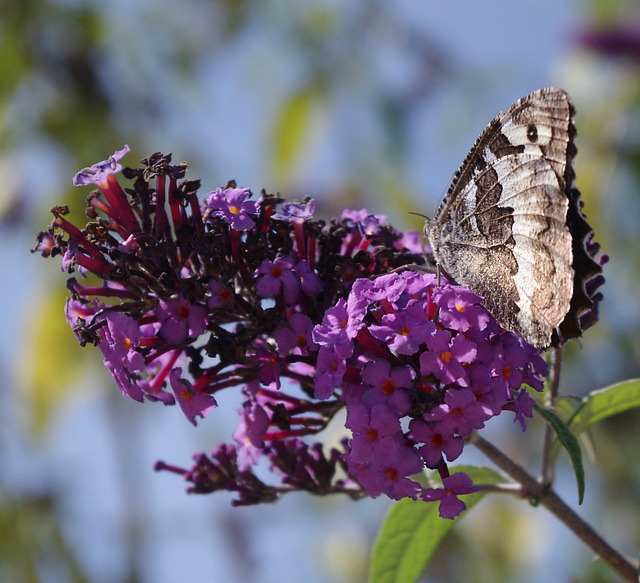 papillon sur une fleur de buddleia