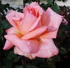 Rose perles d'eau
