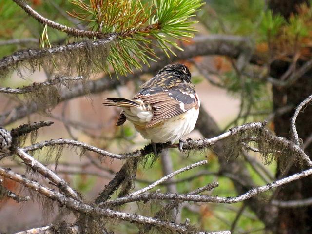 Unknown North American bird