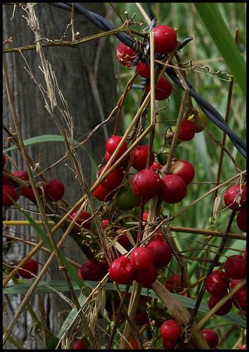 Bryonia cretica ssp dioïca