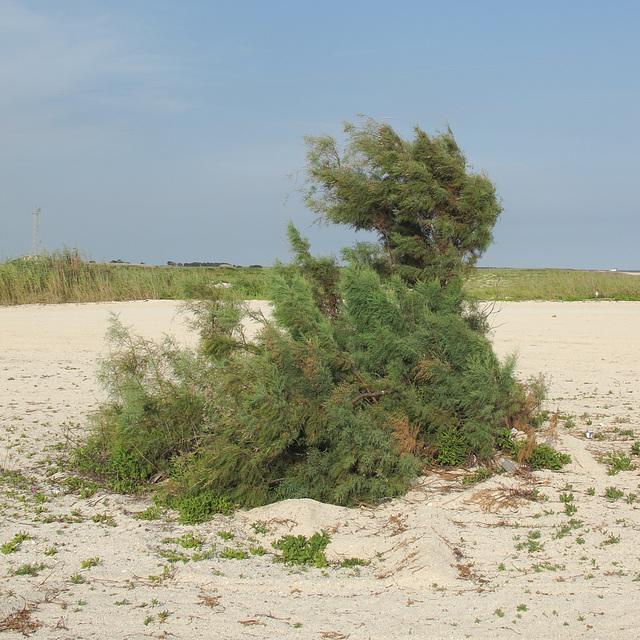 Louisiana beach plant.