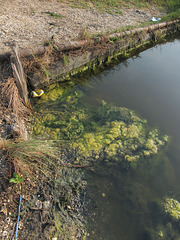 Impartment of an algal stink and sliminess to these waters.