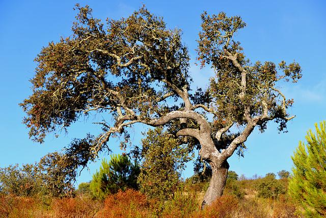 Azinheira, Quercus ilex, Alentejo