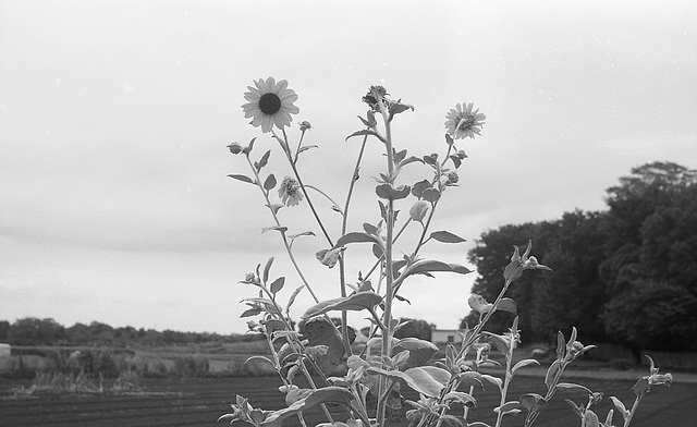 Sunflowers_7